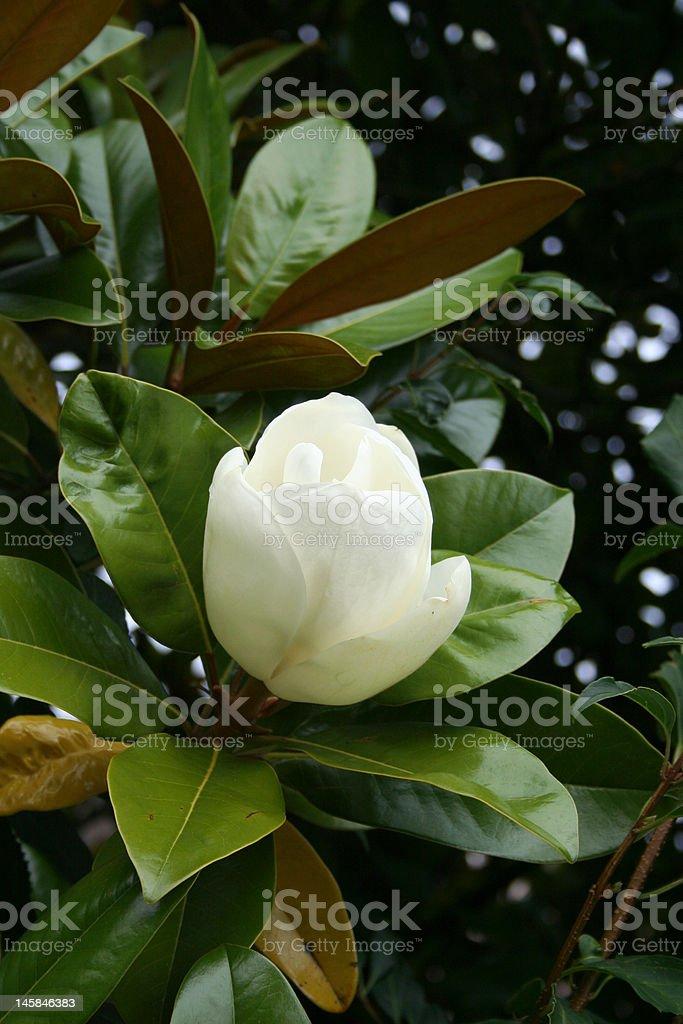 Blooming magnolia (Great Banyan) stock photo