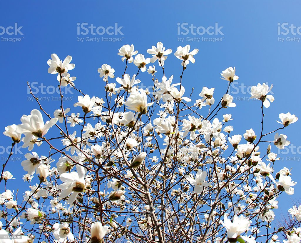 Blooming magnolia royalty-free stock photo