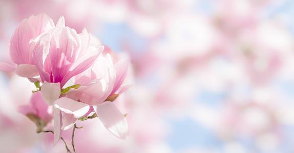 Blooming magnolia tree branch in spring on pastel bokeh background, internet springtime banner