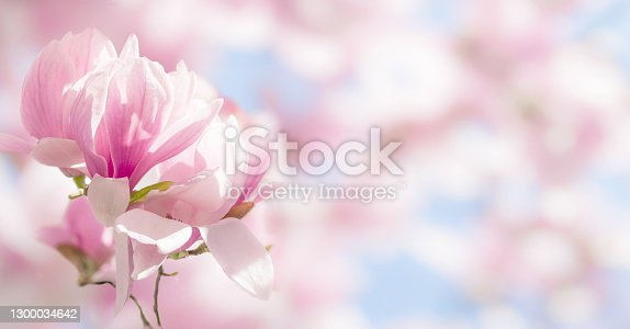 istock Blooming magnolia tree branch in spring on pastel bokeh background, internet springtime banner 1300034642
