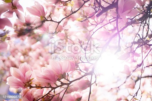 Close up of a blooming flowers of Magnolia tree