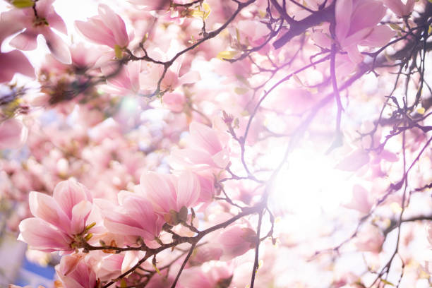 Blooming magnolia tree closeup stock photo