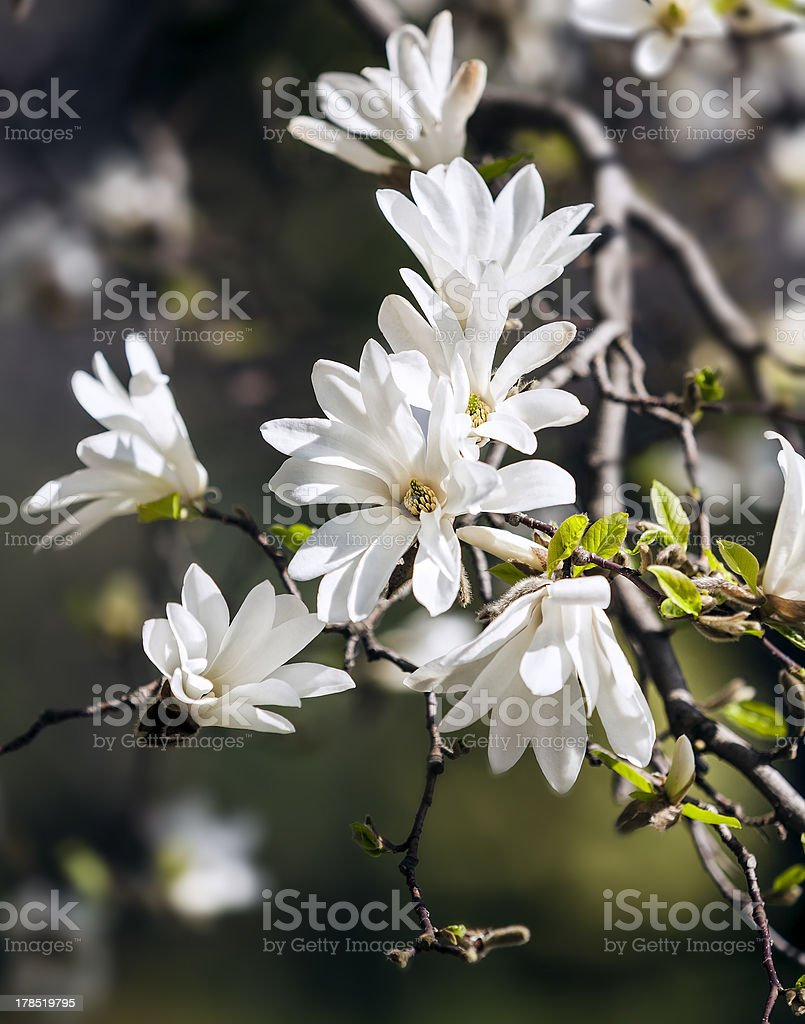 Blooming magnolia  tree royalty-free stock photo