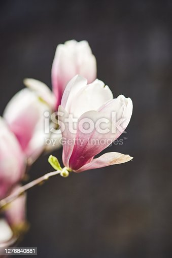 Blooming magnolia tree with large pink flowers in a botanical garden. Natural background concept.