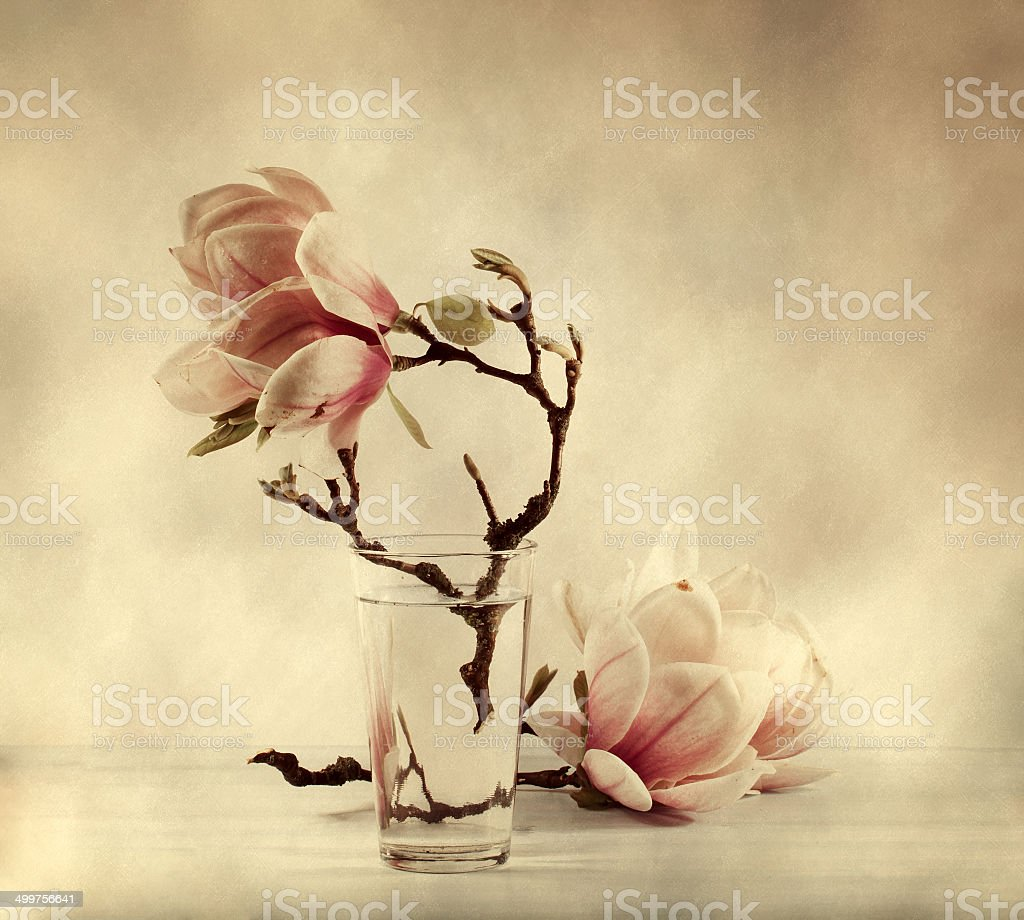 blooming magnolia  with retro filter effect stock photo