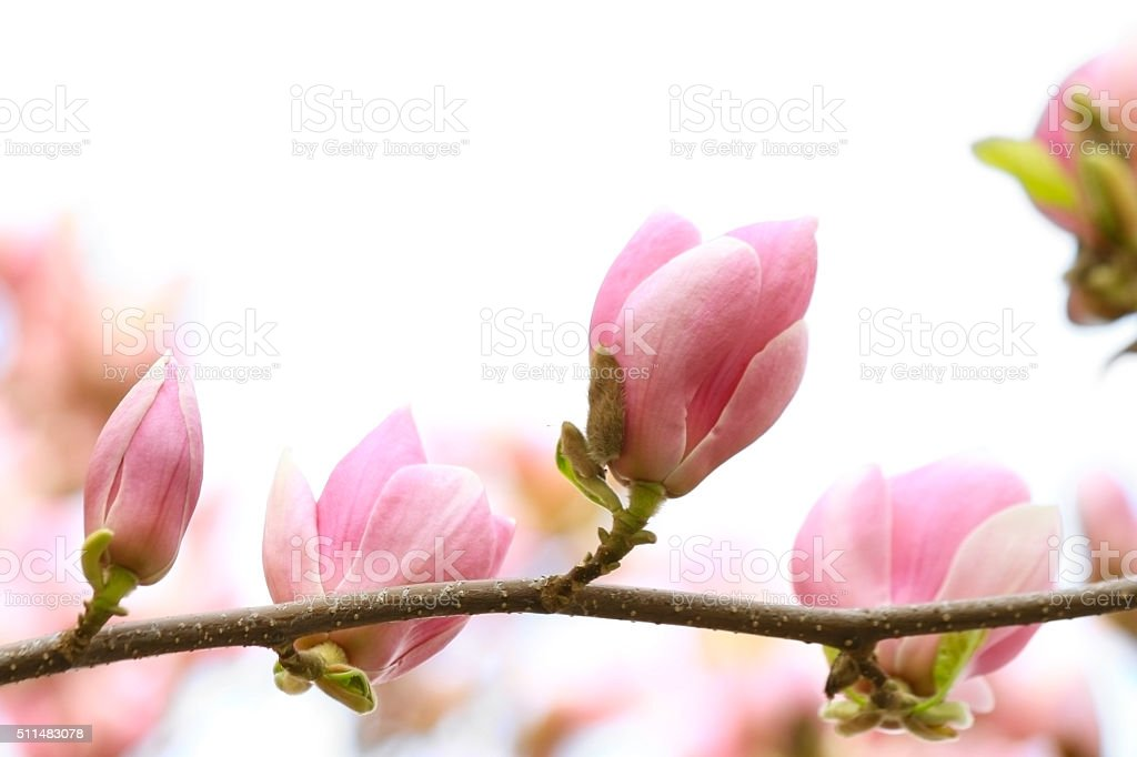 Blooming magnolias on white stock photo