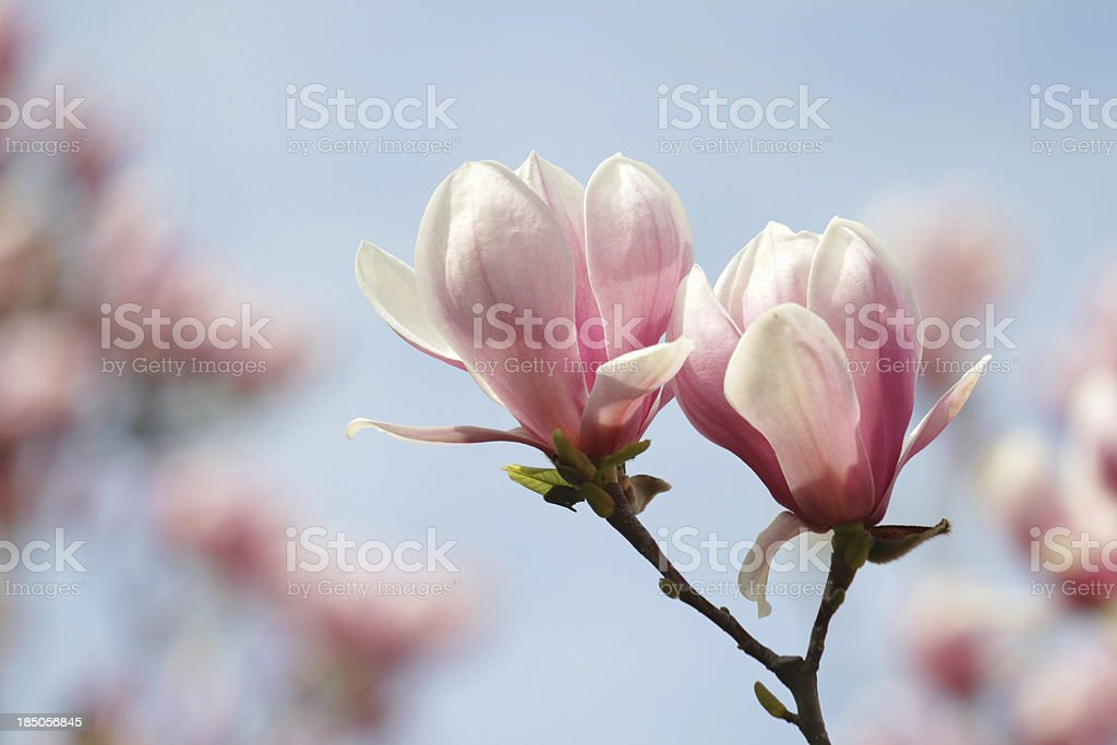 blooming magnolias stock photo