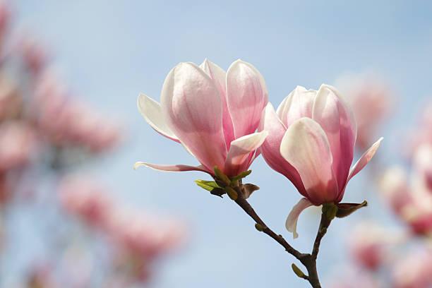 блюминг magnolias. - magnolia стоковые фото и изображения
