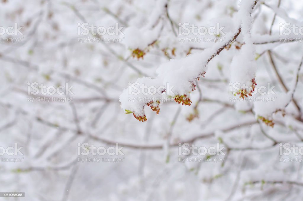 blooming maple branch snow-covered. abnormal weather in the spring - Royalty-free Beauty Stock Photo