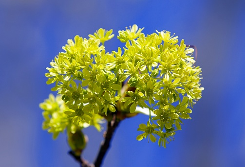 Blooming maple.