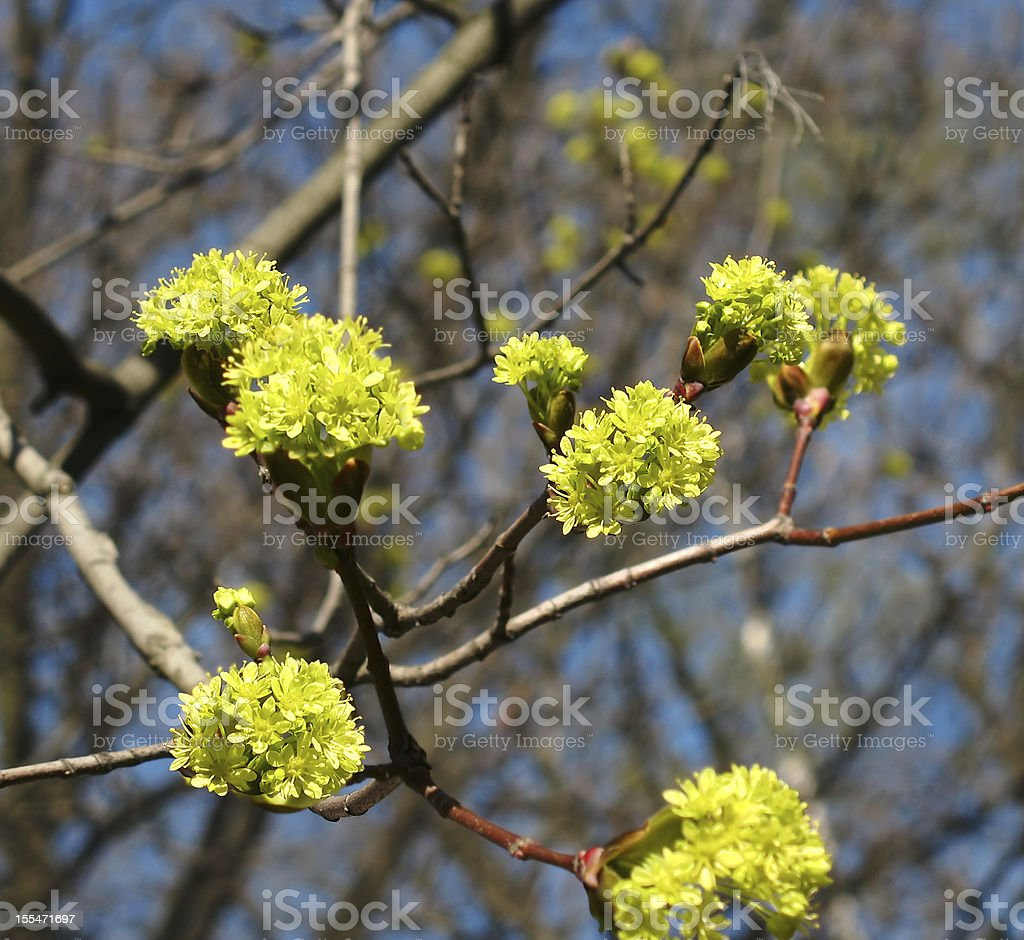 Blooming maple stock photo
