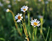 Three blooming marguerites daisies in morning light with green blurry background.