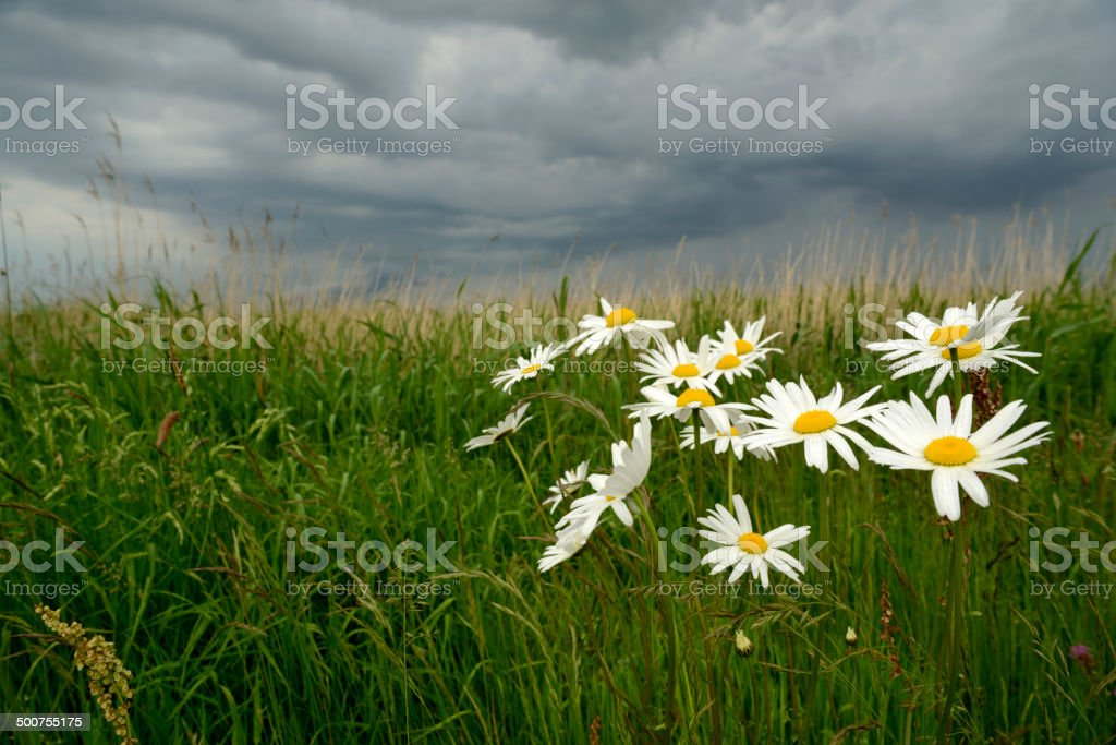Close-up of blooming marguerites on a field under dark sky with...