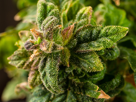 543350314 istock photo A blooming marijuana plant with trichomes, indica, close-up hybrid. female plant 1130092992