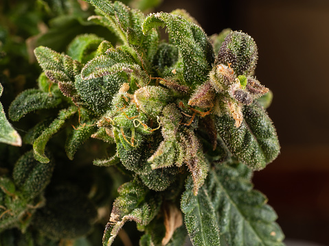 543350314 istock photo A blooming marijuana plant with trichomes, indica, close-up hybrid. female plant 1130093001