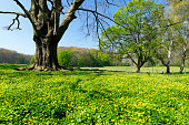 Blooming meadow and old tree in the town forest (Stadtwald) of Cologne