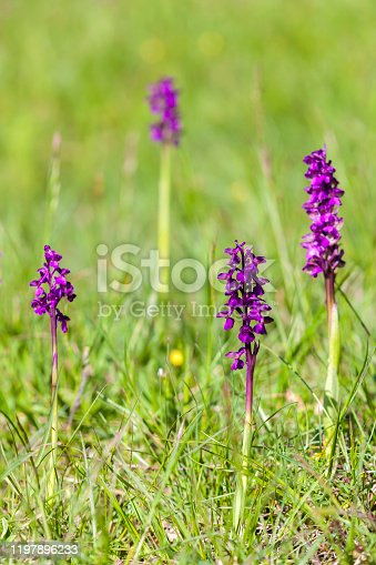 blooming meadow with orchidsnear village Vernasca, Italy
