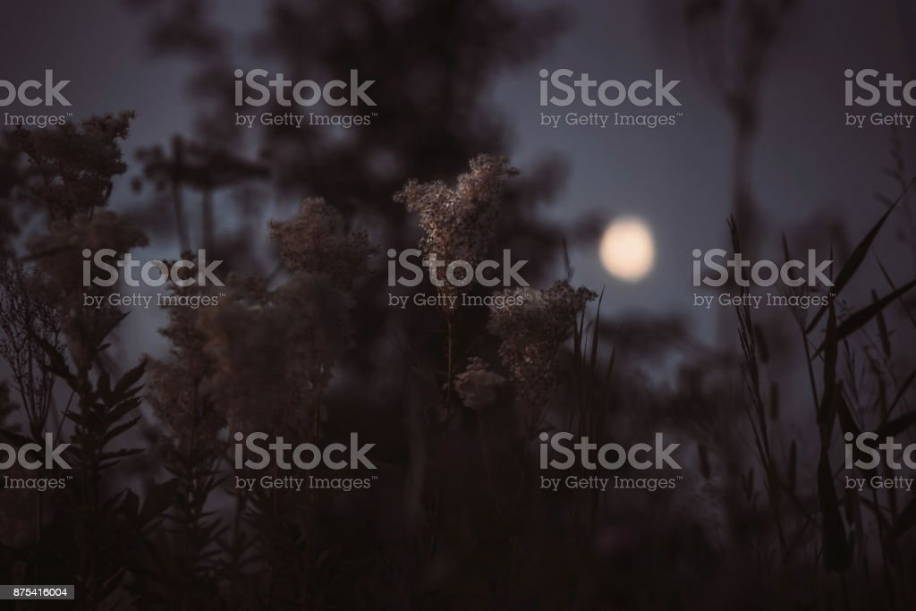 Blooming meadowsweet at moonlight night stock photo
