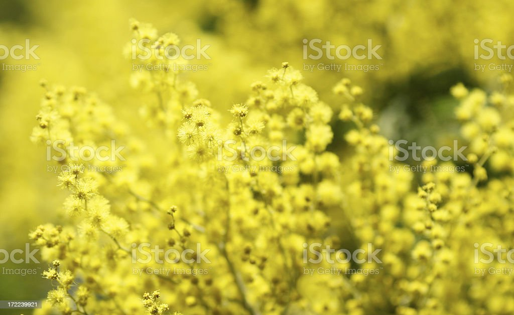 Blooming mimosa background royalty-free stock photo