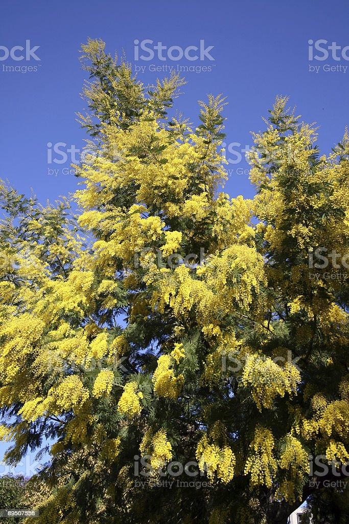 Blooming Mimosa tree royalty-free stock photo