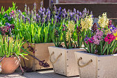 blooming multicolor hyacinths growing in wooden pots, garden decoration