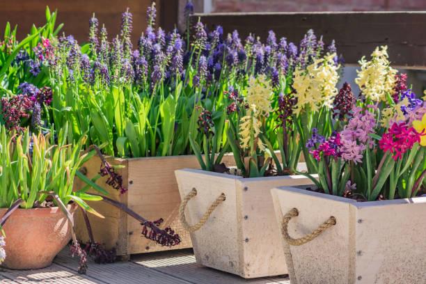 floraison des jacinthes multicolores qui poussent dans des pots en bois, décoration de jardin - plante à bulbe photos et images de collection