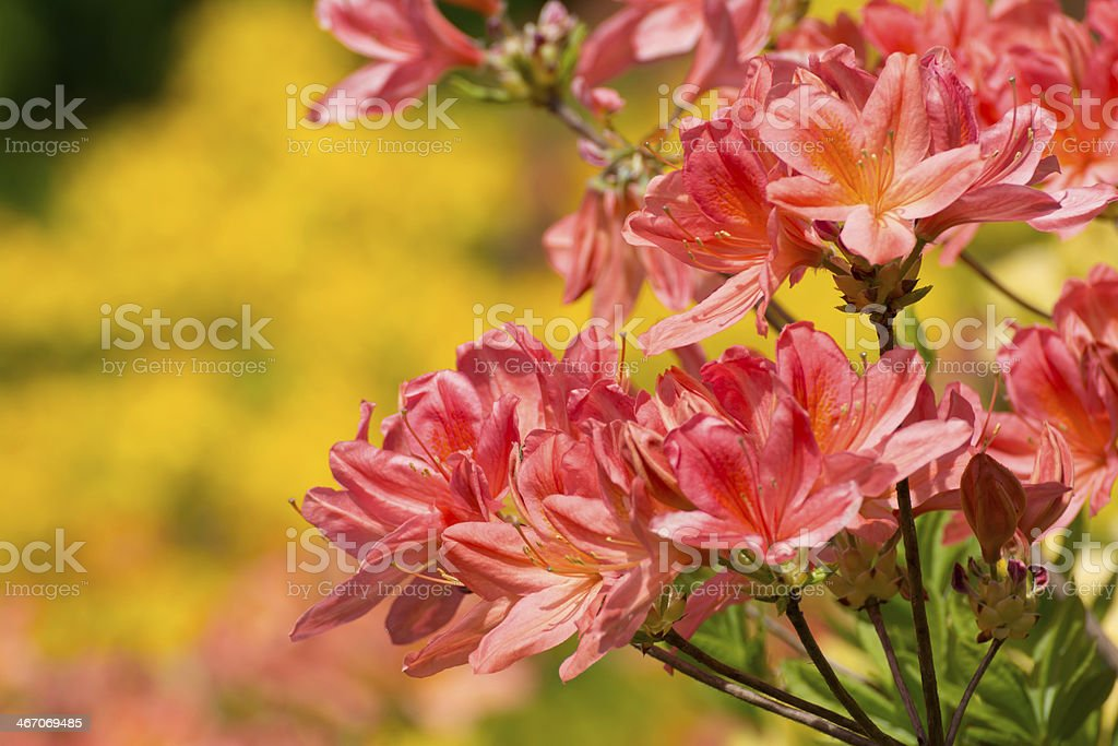 Blooming Multicolored Rhododendron - XXXL stock photo