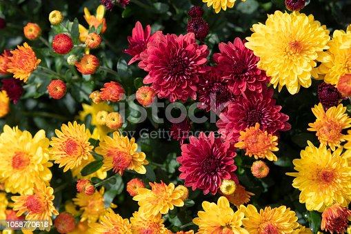 Blooming Mum in Flower Pot