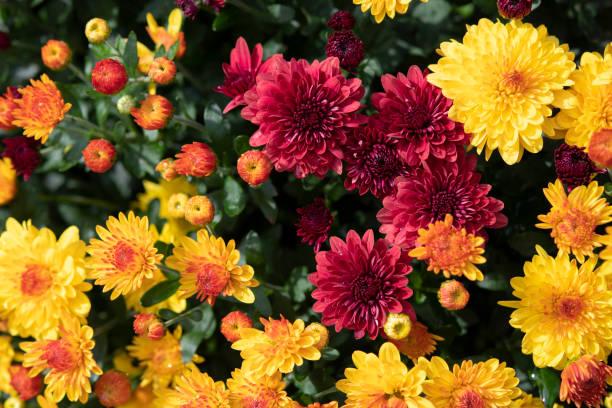 bloeiende mum in bloempot - chrysant stockfoto's en -beelden