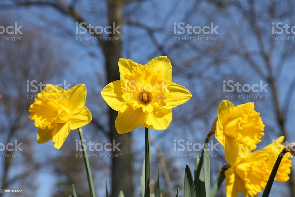 blooming Narcissus daffodil in spring time royalty-free stock photo