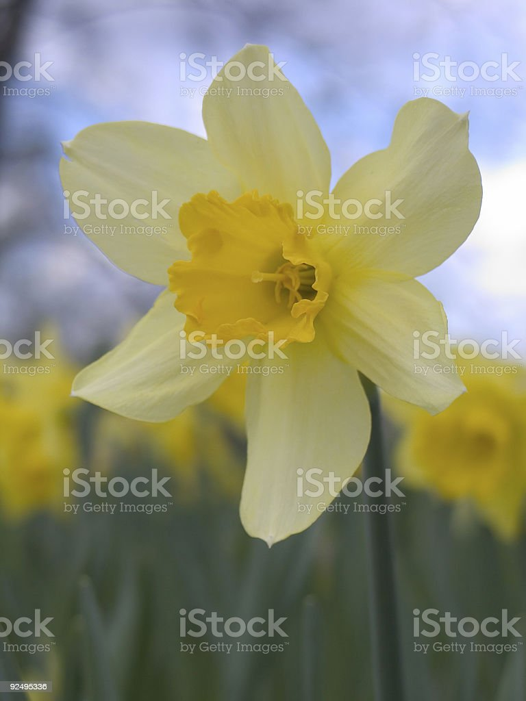 blooming narcissus royalty-free stock photo