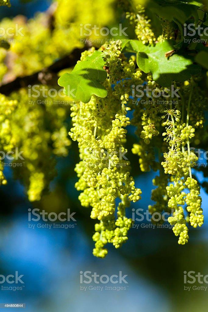 blooming oak . spring stock photo