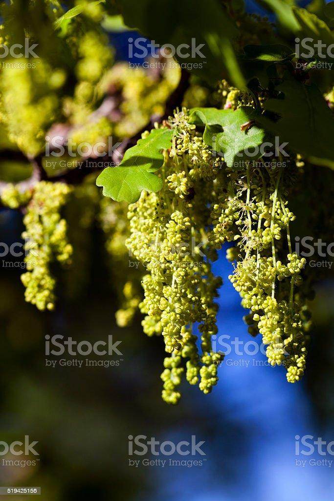 blooming oak , spring stock photo