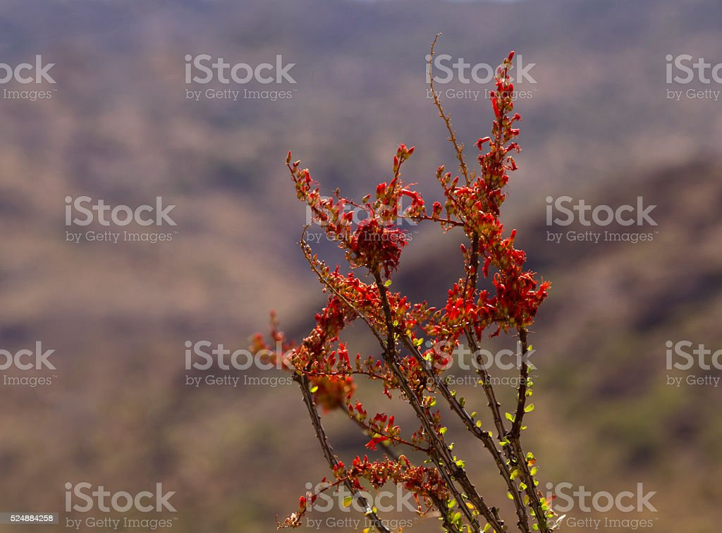Blooming ocotillo against Rincon Mountains stock photo