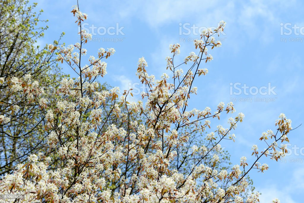 Blooming of Amelanchier Bush. shadbush, shadwood or shadblow stock photo