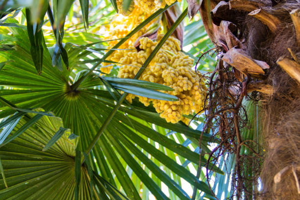 Blooming of trachycarpus yellow flowers of windmill palm tree blooming of trachycarpus yellow flowers of windmill palm tree closeup stock photo more pictures of arboretum istock mightylinksfo