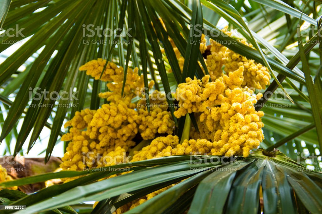 Blooming of trachycarpus yellow flowers of windmill palm tree yellow flowers of windmill palm tree close up royalty free mightylinksfo