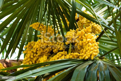 Blooming of trachycarpus yellow flowers of windmill palm tree blooming of trachycarpus yellow flowers of windmill palm tree closeup stock photo more pictures of beauty istock mightylinksfo