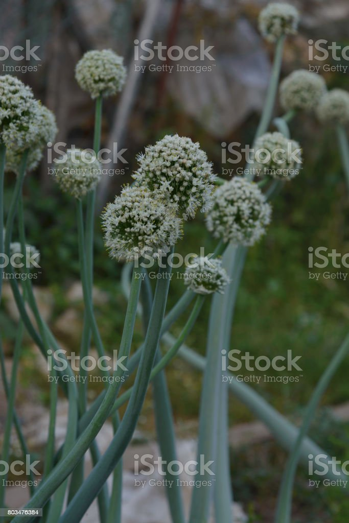 Blooming onion flower stock photo