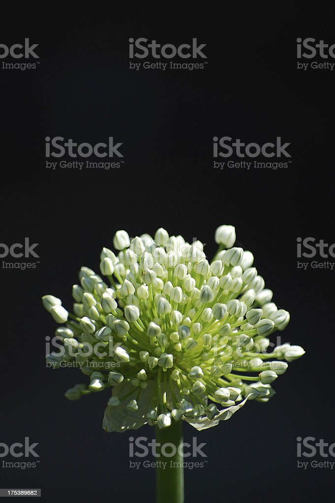 Blooming Onion Macro with Room for Copy royalty-free stock photo
