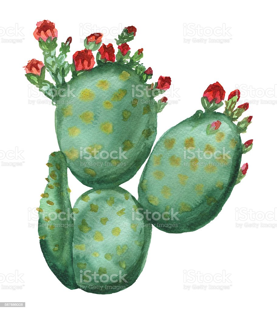 Blooming opuntia cactus stock photo