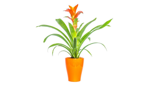 Blooming orange bromeliad flower with green leaves in orange stylish pot closeup isolated on white background stock photo