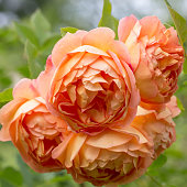 Blooming orange English rose in the garden on a sunny day. Rose 'Lady of Shalott'.