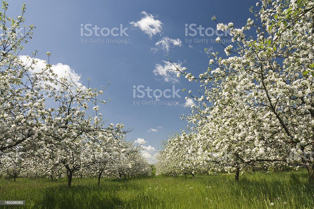 blooming orchard in the morning royalty-free stock photo