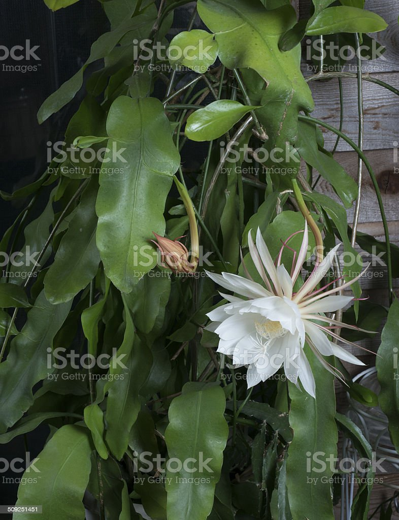 Blooming Orchid cactus or epiphyllum oxypetalum stock photo