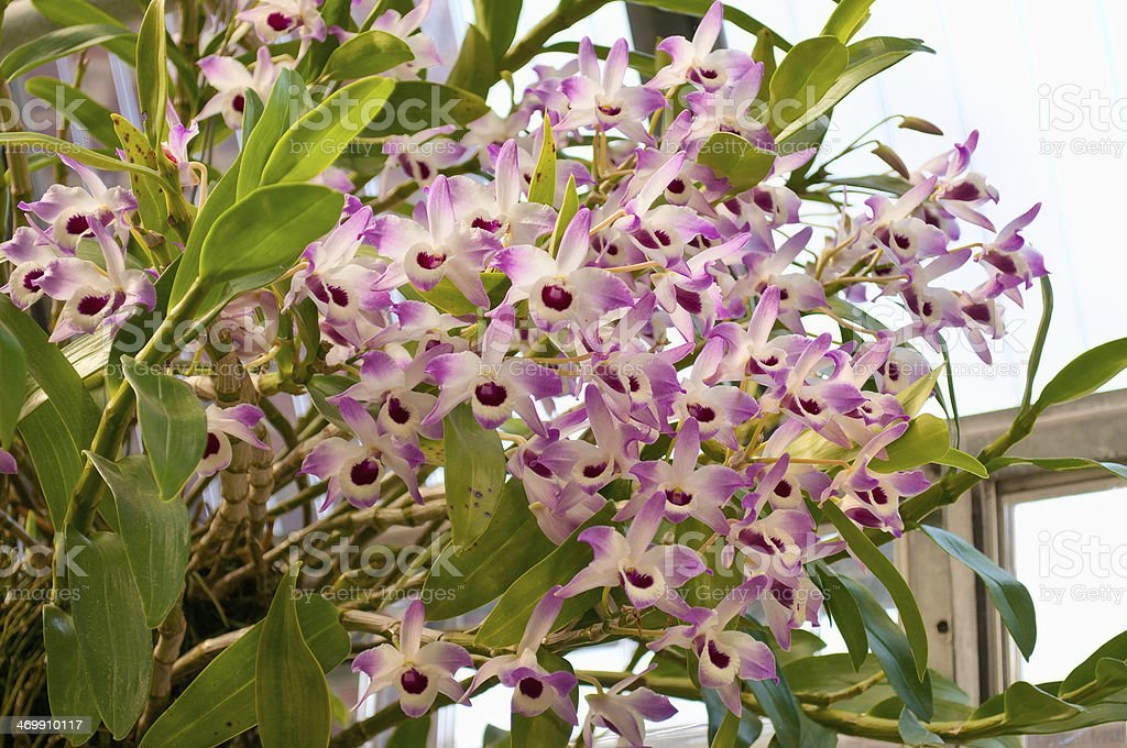 blooming orchid Dendrobium nobile