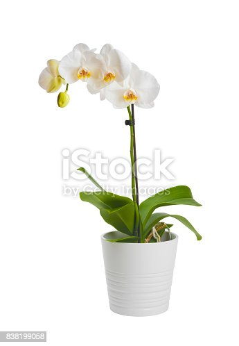 Blooming orchid plant in ceramic flower pot isolated on white background