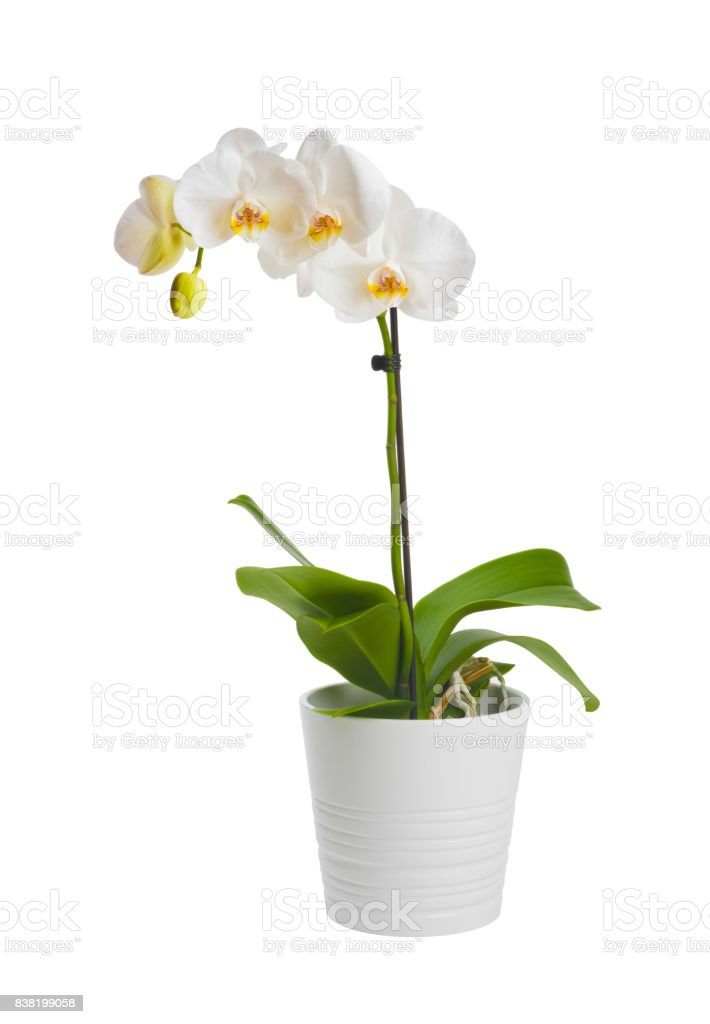 Blooming orchid plant in ceramic flower pot isolated on white background stock photo