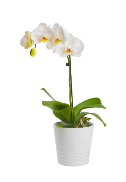 blooming orchid plant in ceramic flower pot isolated on white background - orchidea foto e immagini stock