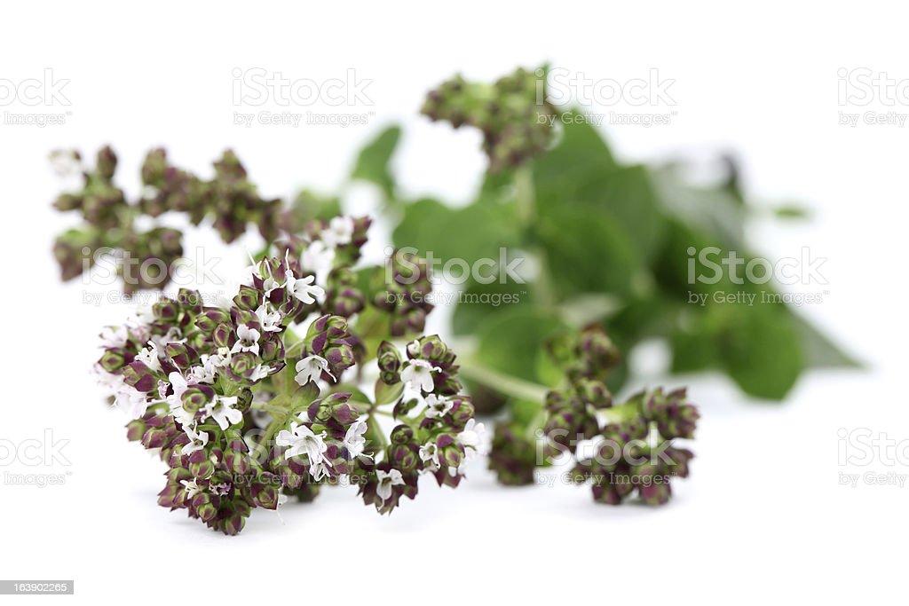 Blooming oregano royalty-free stock photo